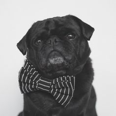 This week's pug photo challenge is all about showing off some nice simple portraits. So let's see those pug portraits tagged #tpdportrait #thepugdiary