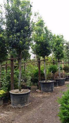 Laurus Nobilis. Bay Leaf Tree - Full Standard Trees UK.