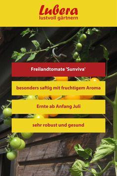 Unsere Freilandtomate 'Sunviva' ist sehr robust und gesund. Aber auch ihr besonders saftiges und fruchtiges Aroma kann überzeugen. Mehr Infos und Tipps finden sie in unserem Shop ↓  ↓  ↓ ↓  ↓  ↓ _______________________________________________________#tomate #freiland #robust #aroma #fruchtig #garten #lubera #gärtnern #gartengestaltung #dekoideen #beet #hochbeet Blog, Large Plants, Crop Protection, Harvest, Tomatoes, Diy, Health, Tips, Blogging