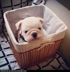 olga-baby-bulldog