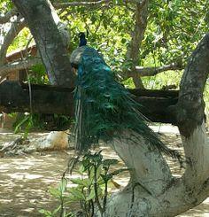 Pavão:avedosgénerosPavoe Afropavodafamíliados faisões (Phasianidae). #Lindo!