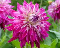 Hapet Pink Beauty Dahlia