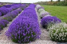 Lavender (Lavandula Angustifolia) Romantic Herb Seeds Lavender (Lavandula) is such a romantic flower that every gardener sooner or later succumbs to the urge to grow it. Lavender plants will tolera Garden Shrubs, Herb Garden, Garden Landscaping, Landscaping Ideas, Lavender Seeds, Lavender Plants, Lavender Flowers, Lavender Hedge, Periannual Flowers