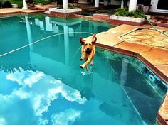 walk on the water... Spike didn't realize his owner took the pool cover off for the first time this year.