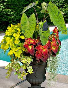 Elephant ear for part shade: Colocasia Mojito, coleus Dipt in Wine, ivy Gold Child, coleus Wasabi