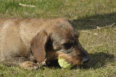 The wirehaired moved!!! Read it all on his site!!