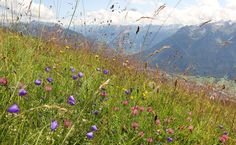 Alpine Flower Meadow With Bell Flowers Pink Clover And Grass.. Stock Photo, Picture And Royalty Free Image. Image 25241519.