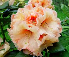 whitney orange rhododendron - Google Search