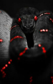 What a beautiful snake. I believe this is a (green) tree snake in black, which I have never seen but it is amazing . Reptiles Et Amphibiens, Cute Reptiles, Nature Animals, Animals And Pets, Cute Animals, Black Animals, Wild Animals, Beautiful Creatures, Animals Beautiful