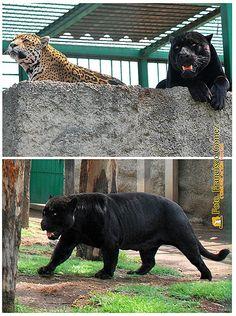 Nezahualcóyotl, Méx. 26 Julio 2013. Pareja de jaguares del Zoológico Parque del Pueblo de Nezahualcóyotl; el macho (melánico) además de su hermoso color negro profundo, sobresale por su fortaleza física. Esta especie es originaria del centro del Continente Americano.