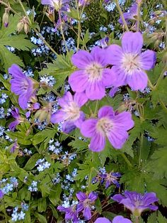 Metsäkurjenpolvi _Geranium sylvaticum Forest Flowers, Wild Flowers, Astrantia, Hardy Perennials, Geraniums, Botany, Planting Flowers, Beautiful Flowers, Scenery