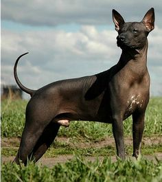 xoloitzcuintli dog | The Xoloitzcuintli or Xolo comes in three sizes, toy, standard and ...