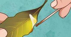 Bokový list, který je listem vavřínu ušlechtilého, pochází pravděpodobně z Malé Asie a dodnes je hojně pěstován ve Středomoří. Jeho vůně a chuť je silně aromatická, a právě proto se používá nejen jako koření, ale i v léčitelství a má hned několik využití. Pokud jste vystresovaný z práce a trápí