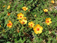 Arizona Poppy, Kallstroemia grandiflora. Also called Arizona Caltrop, Orange Caltrop,  Summer Poppy, Vaivur�n, Mal de Ojo, Sore Eye. Flowering Photos Taken Near Safford, Arizona.