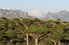 Dracaena_cinnabari_forest_Socotra