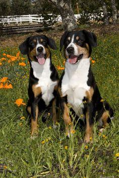 Entlebuche Cattle Dog Entlebucher Sennenhund Mountain Dog Breeds Dog Breeds Entlebucher Mountain Dog