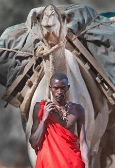"senjukannon: "" A man from the Maasai tribe steers his camel forward in northern…"