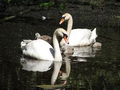 Swans a beautiful family
