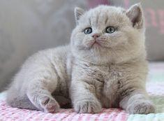 #kitten #bluerussian