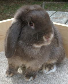 Chocolate Otter Holland Lop