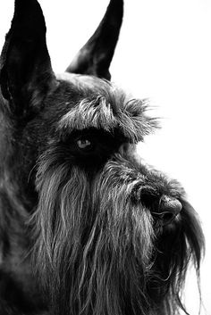 The Side of Kuro by Tedford Chan Outstanding! Miniature Schnauzer Puppies, Schnauzer Puppy, Schnauzers, Schnauzer Gigante, Schnauzer Grooming, Most Popular Dog Breeds, Dog Agility, Dog Life, Beautiful Creatures