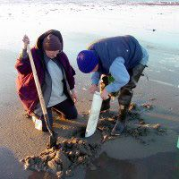 Photo: Clam diggers using shovel and clam gun.