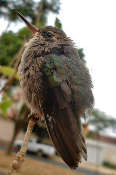 Foto besourinho-de-bico-vermelho (Chlorostilbon lucidus) por Priscilla Diniz | Wiki Aves - A Enciclopédia das Aves do Brasil