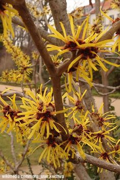 New leaves emerge reddish-bronze in spring on the unique and versatile Witchhazel. Late season flowers are brilliant gold.