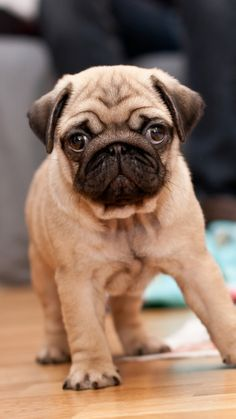 Pug #BullyDogNation                                                                                                                                                                                 More