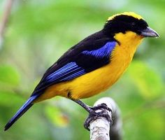 Blue-and-yellow Tanager via Bird's Eye View at www.Facebook.com/aBirdsEyeViewForYou