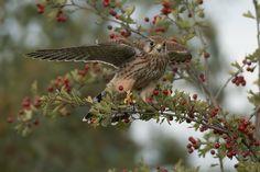 Hedge hopping by Photosbykev on DeviantArt