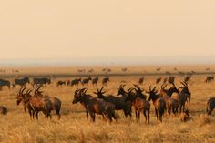 Plains is noted for its spectacular dry season concentrations of big mammals and the inevitable predators.
