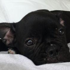 Bello, the French Bulldog Puppy