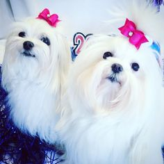 Lily Kate and Gretchen Ella on New Years Eve.  Bows by Mama! @MiaLilyElla&Brooke #maltese #hairbows