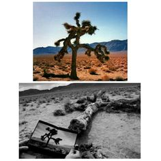 The Joshua Tree......one day go and see the famous fallen tree