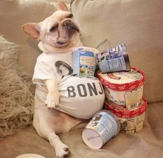"""Can you ever REALLY have too much Ice Cream?"",... ""I think not"", an overstuffed French Bulldog ❤"
