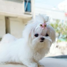 Cute Shi Tzu....Oh my goodness