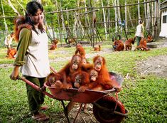 a barrowful of orangutans