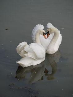 Two Loving Swans  copyright.