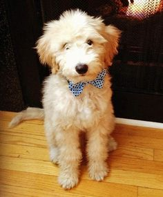 Stanley the Goldendoodle. Wearing a bow tie! #TooCute