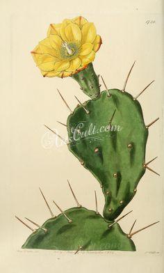 Opuntia vulgaris, or Prickly Pear Cactus. Opuntia vulgaris, or Prickly Pear Cactus. Cactus Drawing, Cactus Painting, Cactus Art, Cactus Flower, Flower Art, Flower Film, Botanical Drawings, Botanical Prints, Illustration Cactus