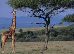 jirafa tratando de alcanzar comida dibujo - Buscar con Google