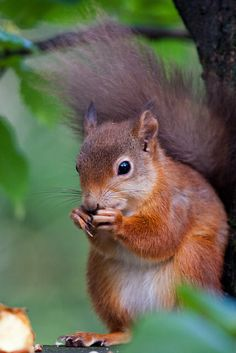 Red Squirrel, near Dundonnell, Wester Ross, Scotland | Flickr - Photo Sharing!