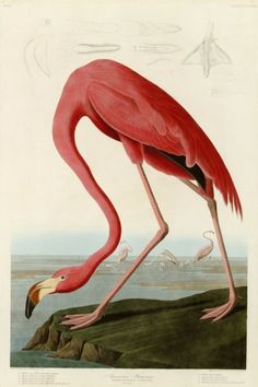 American Flamingo Prints by John James Audubon - AllPosters.co.uk