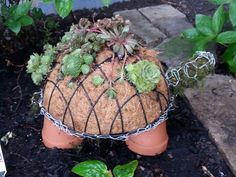 See how to make a Succulent Turtle Topiary from a dollar store hanging basket and chicken wire! Step-by-step DIY instructions and video tutorial.