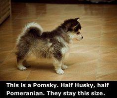 Pomsky :')