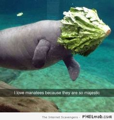 LOL. (Full disclosure: I never thought of manatees as majestic.)