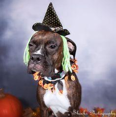 Shocks photography is a Washington State Pet Photographer,  who captures beautiful dog portraits.    dog photography | pet photographer | Washington state | Halloween | dog photos | happy puppy | photos of dogs | cute dog | fall | pumpkin |
