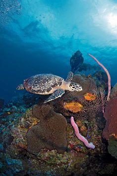A Hawksbill turtle at Omega Reef, Grand Cayman