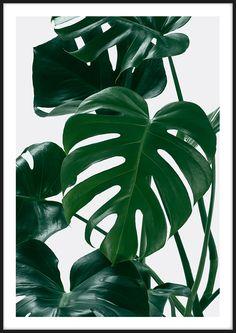Fine art prints - monstera posters in 2019 art тропики, обои Canvas Artwork, Canvas Art Prints, Fine Art Prints, Plant Painting, Plant Art, Hirsch Tattoo Frau, Fleurs Diy, Plant Wallpaper, Plant Aesthetic